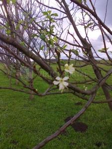 cvijet_sljive