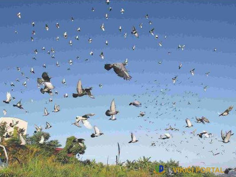 Jato golubova u letu