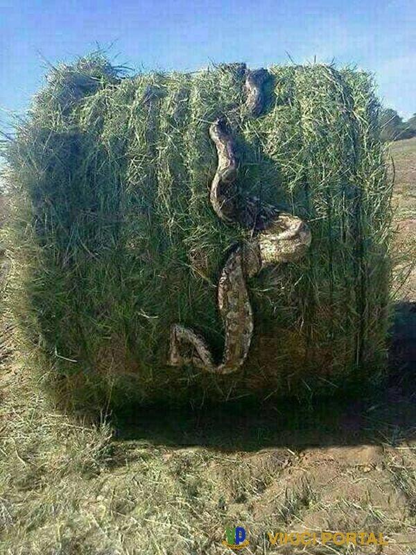zmija duga 3 metra uprešana u rolo bali sjena